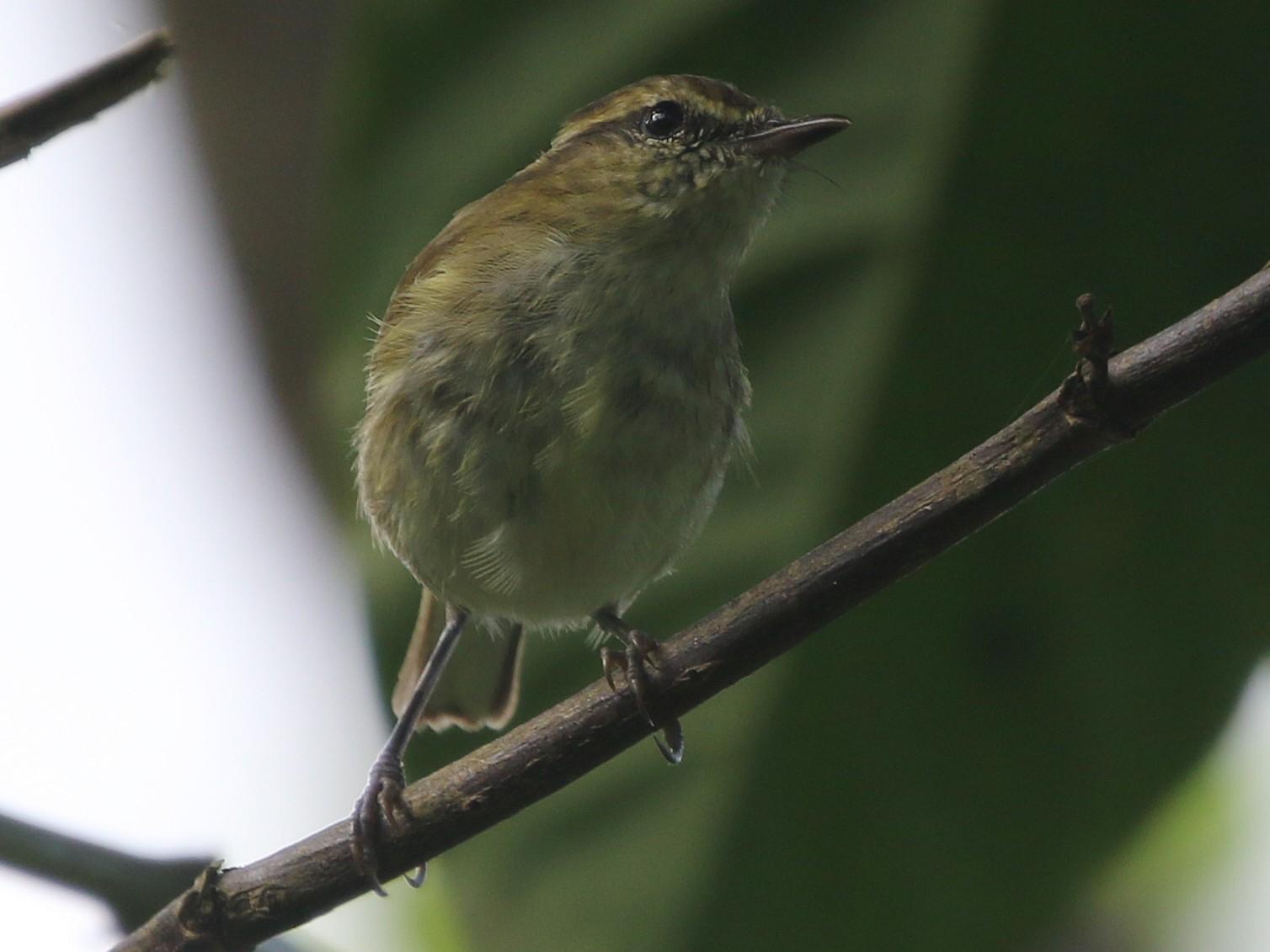 Sulawesi Leaf Warbler - Ashley Banwell