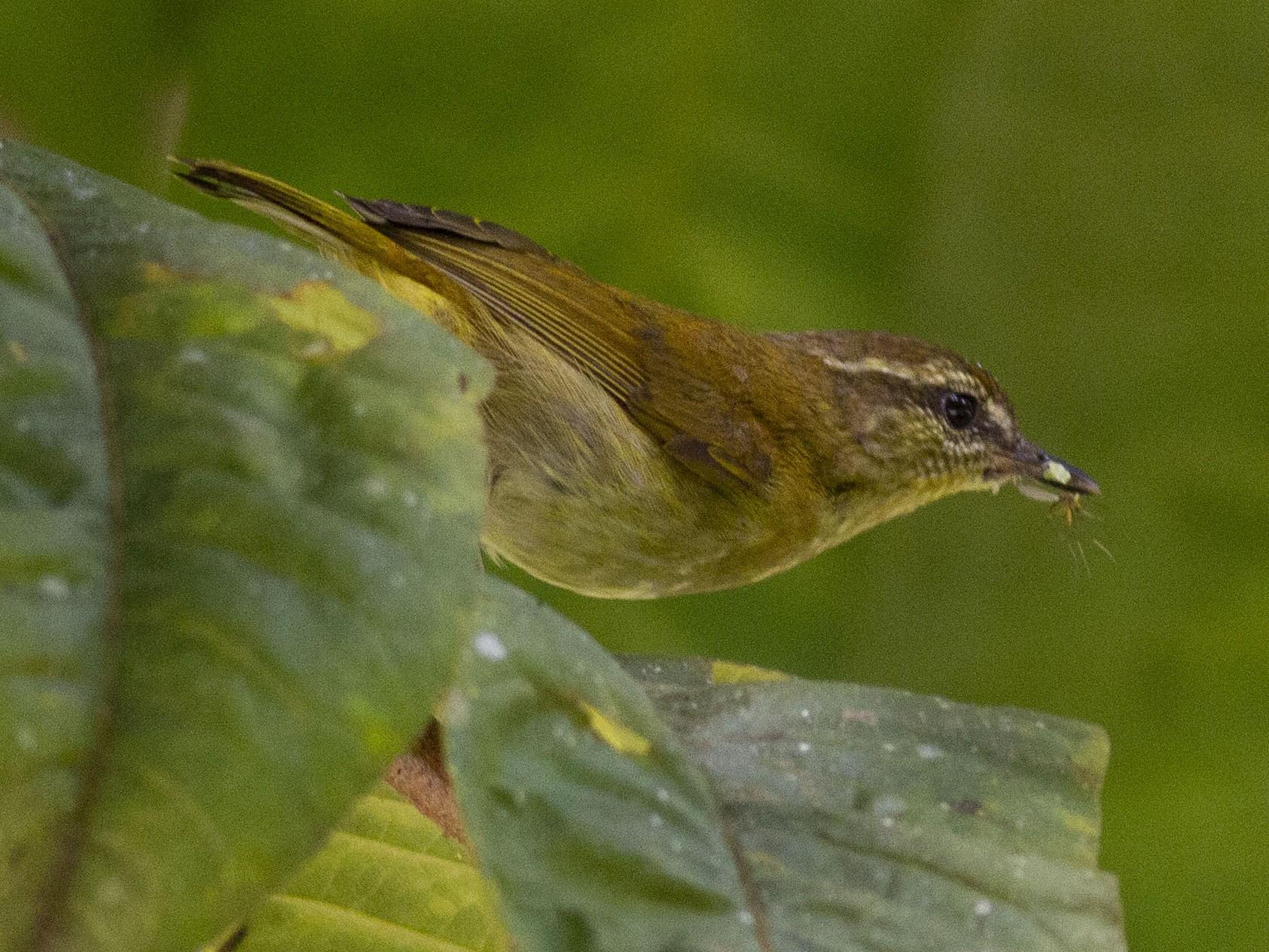 Sulawesi Leaf Warbler - Benjamin Van Doren