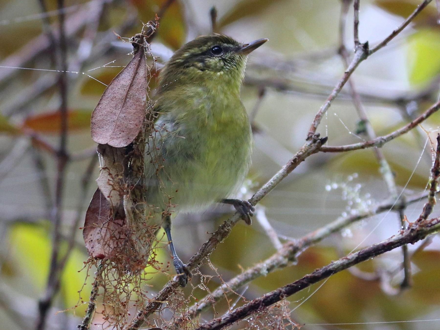 Sulawesi Leaf Warbler - Julien Lamouroux