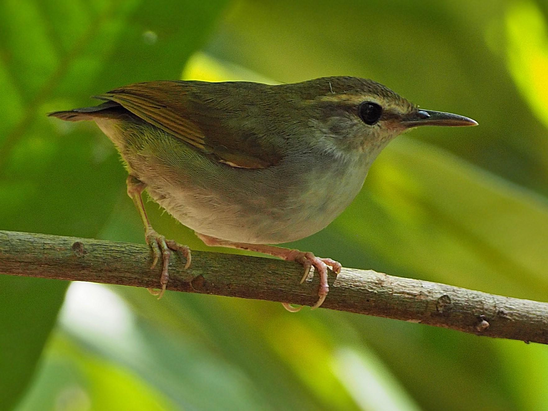 Timor Stubtail - James Eaton