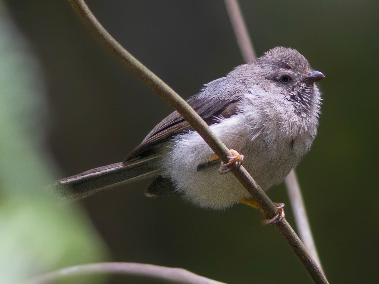 Pygmy Tit - Wade Strickland