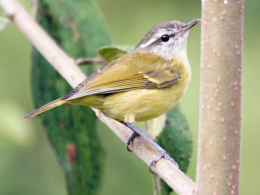 Island Leaf Warbler - John C. Mittermeier