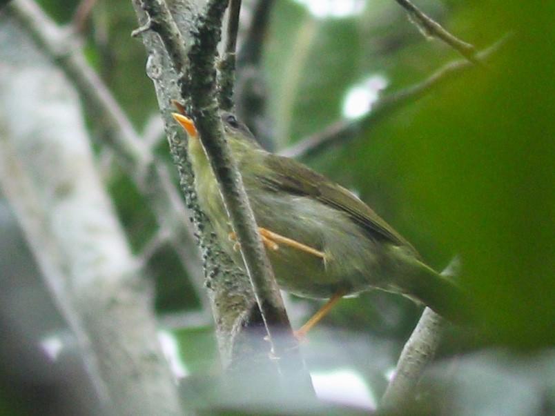 Island Leaf Warbler - Wilbur Goh Soon Kit