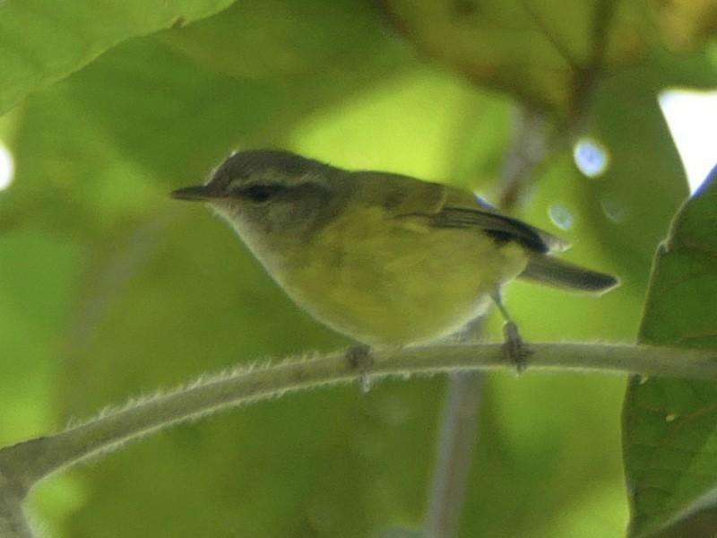 Island Leaf Warbler - Peter Kaestner