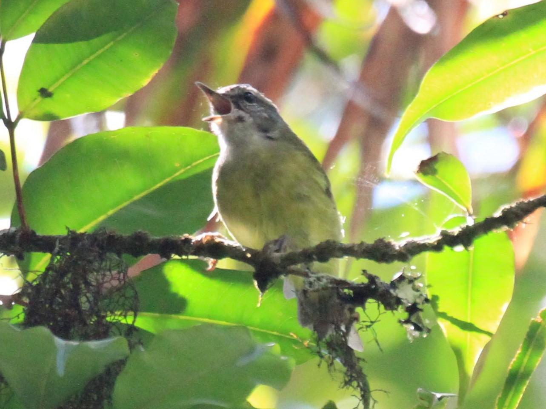Island Leaf Warbler - Charles Davies