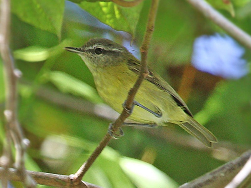 Island Leaf Warbler - James Eaton