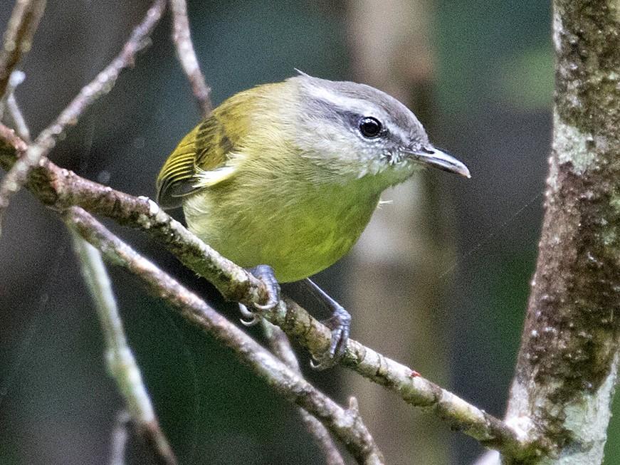 Island Leaf Warbler - Sam Woods
