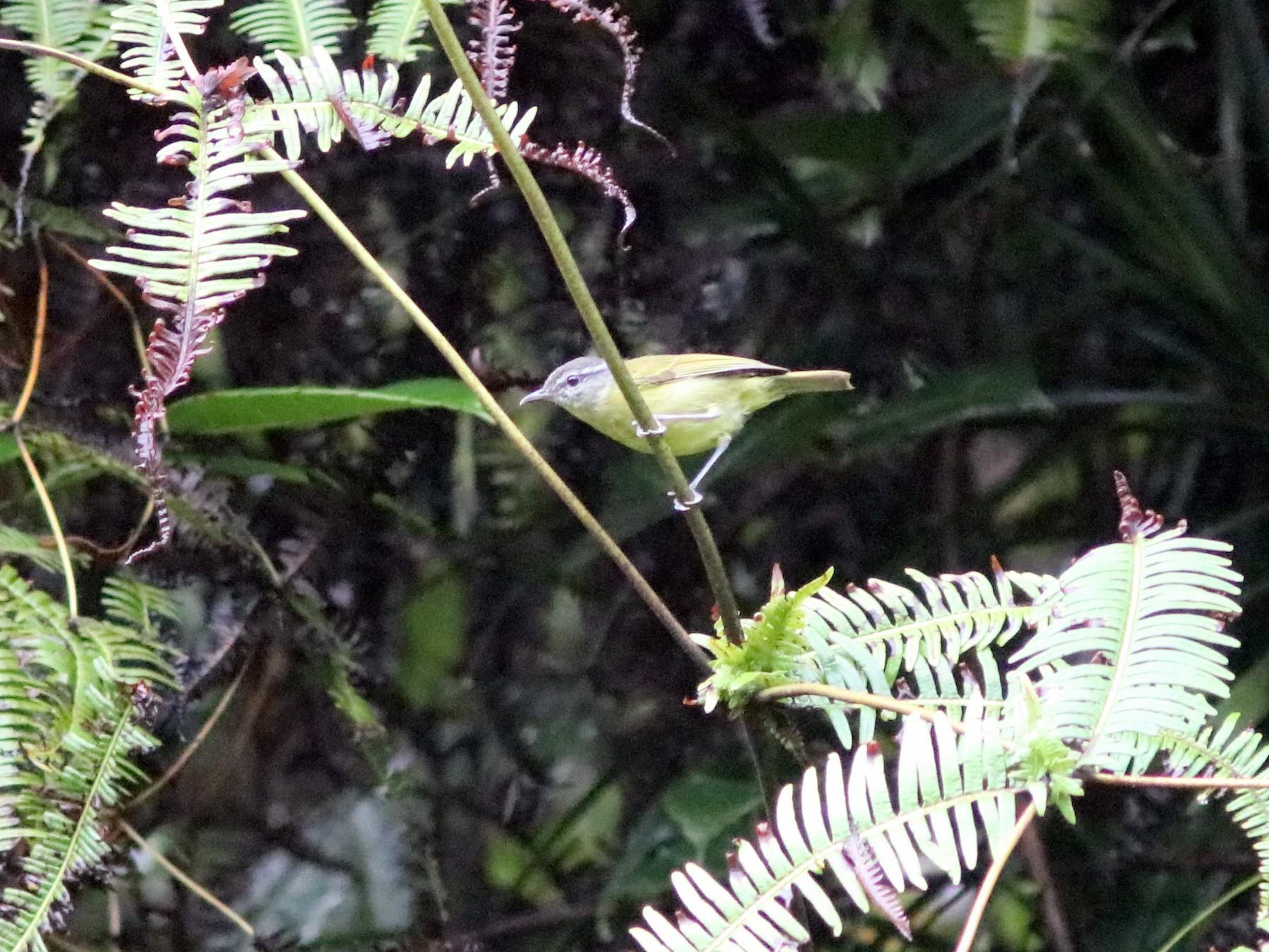 Island Leaf Warbler - John Drummond