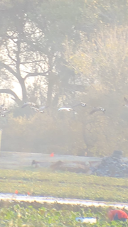 Snow Goose, ML275309271