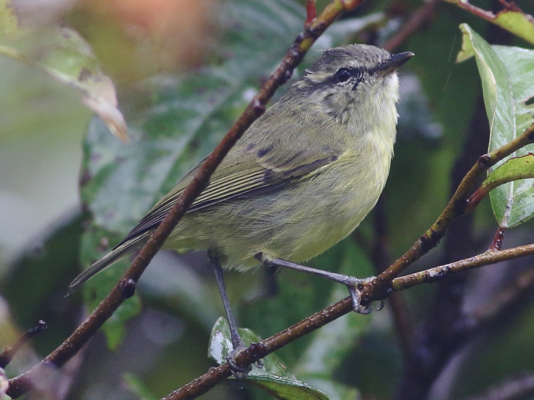 Island Leaf Warbler - Chris Wiley