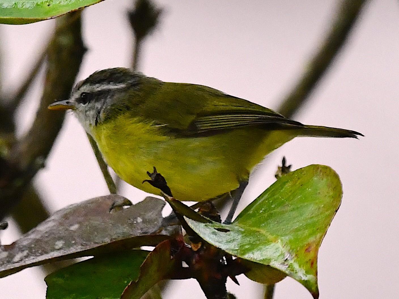 Island Leaf Warbler - Arco Huang