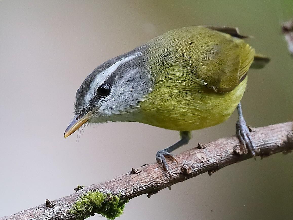 Island Leaf Warbler - Carlos Bocos