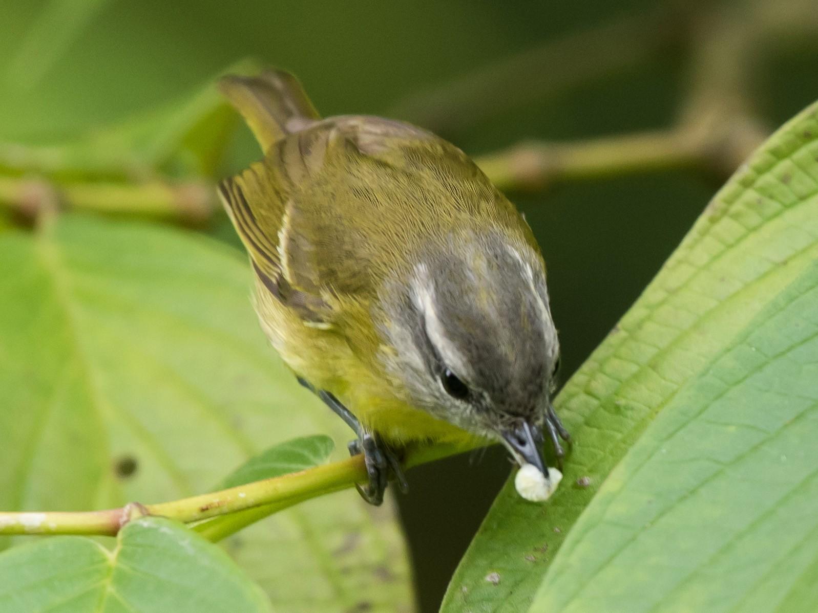 Island Leaf Warbler - Lucas DeCicco