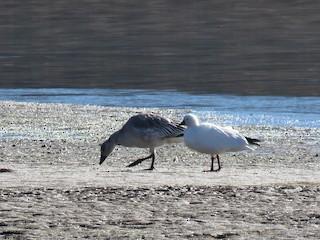 Ross's Goose, ML275338881