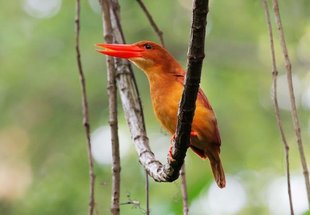 Ruddy Kingfisher