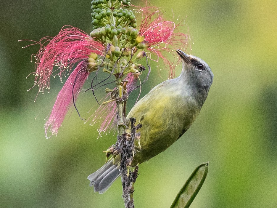 Javan Gray-throated White-eye - Michael Henry