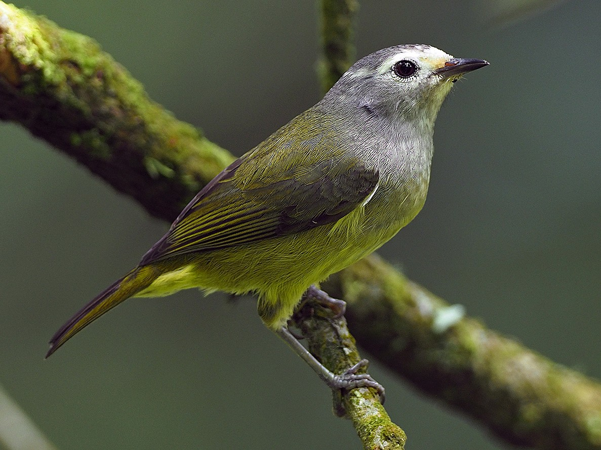 Javan Gray-throated White-eye - James Eaton