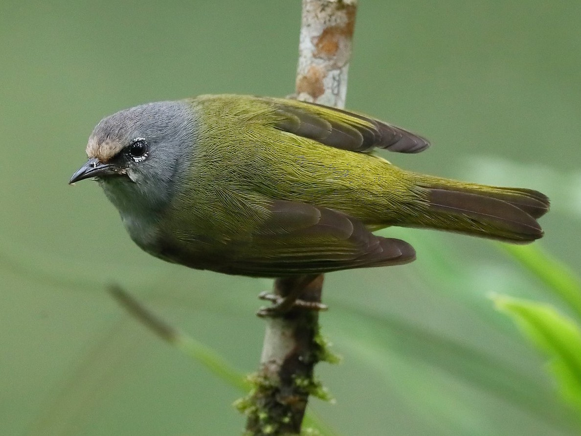 Javan Gray-throated White-eye - Carlos Bocos