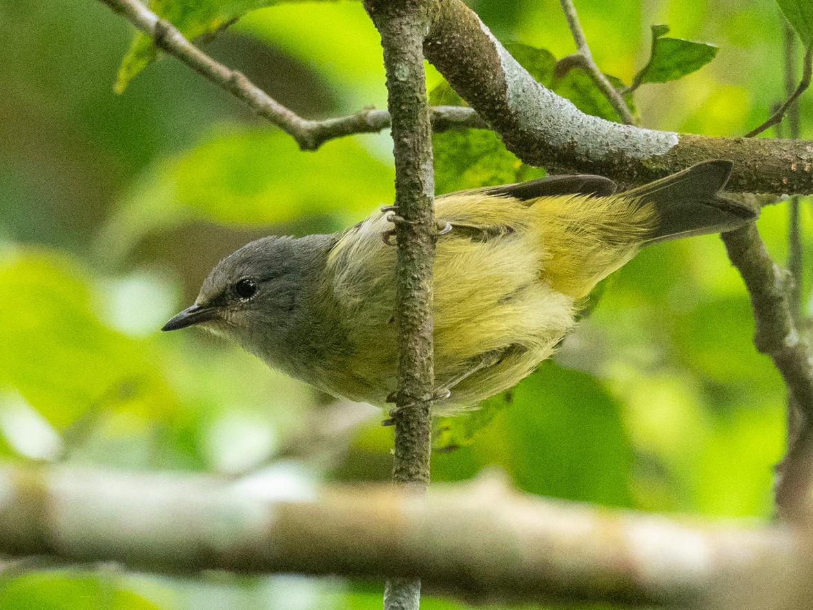 Javan Gray-throated White-eye - Forest Jarvis