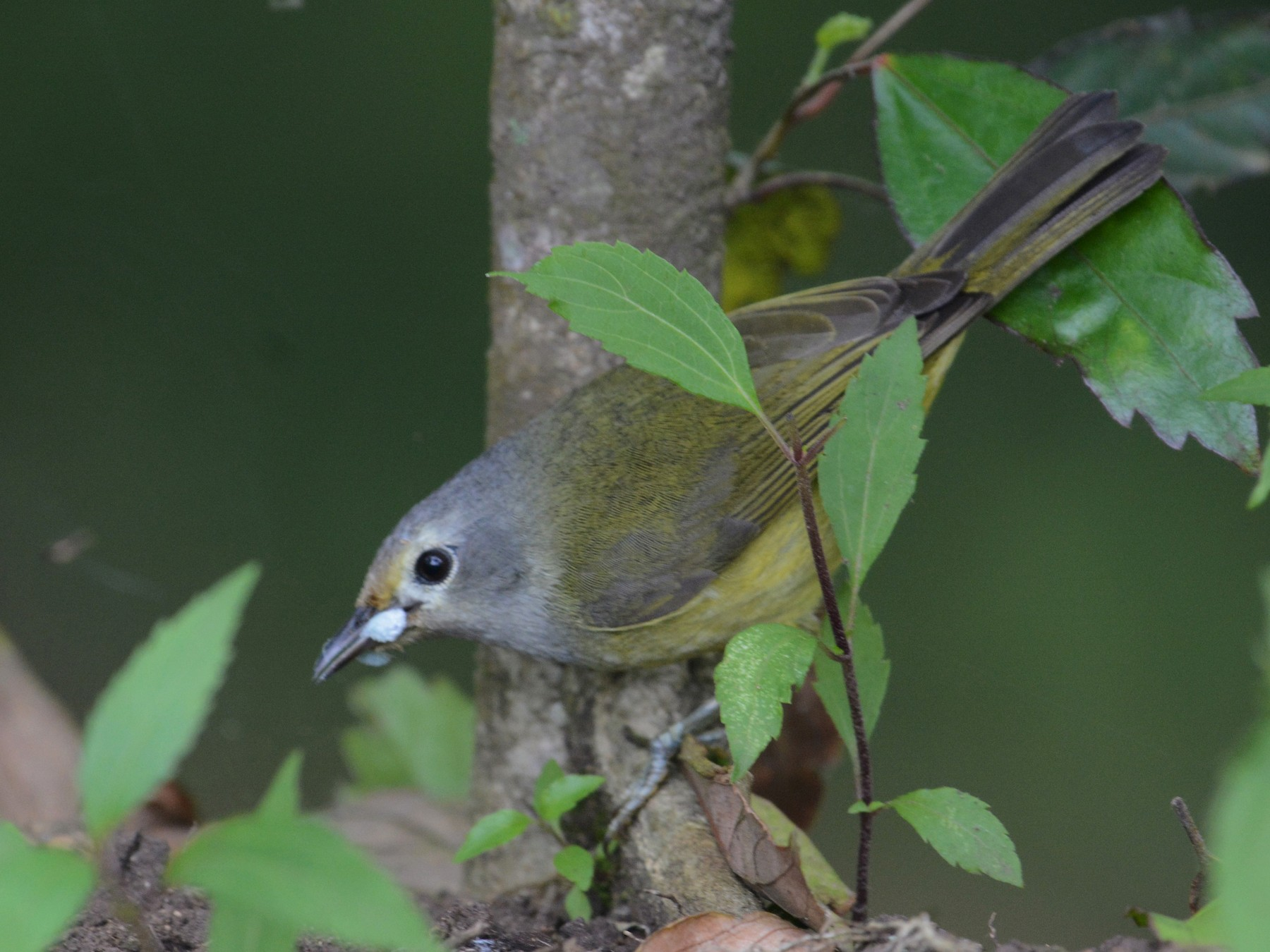 Javan Gray-throated White-eye - Ari Noviyono