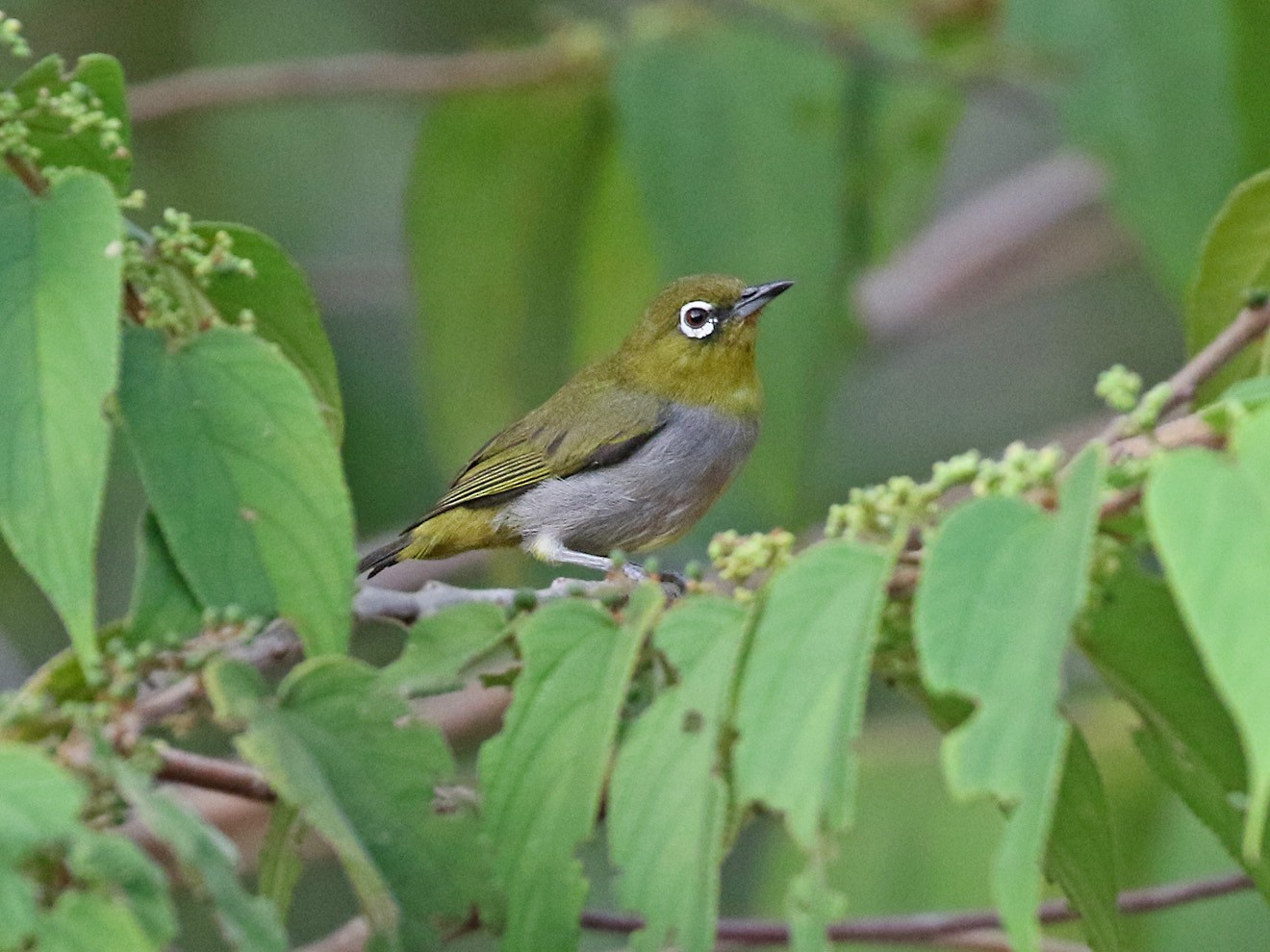 Hume's White-eye - Dave Bakewell