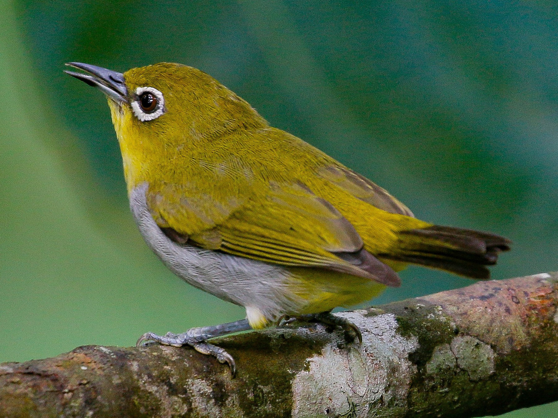 Hume's White-eye - Neoh Hor Kee