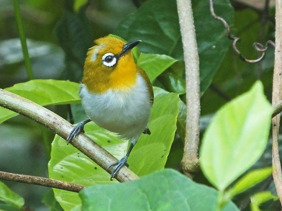 Sulawesi White-eye - Panji Gusti Akbar