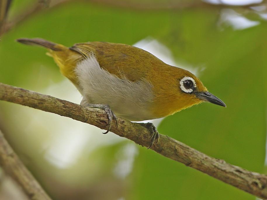 Sulawesi White-eye - James Eaton