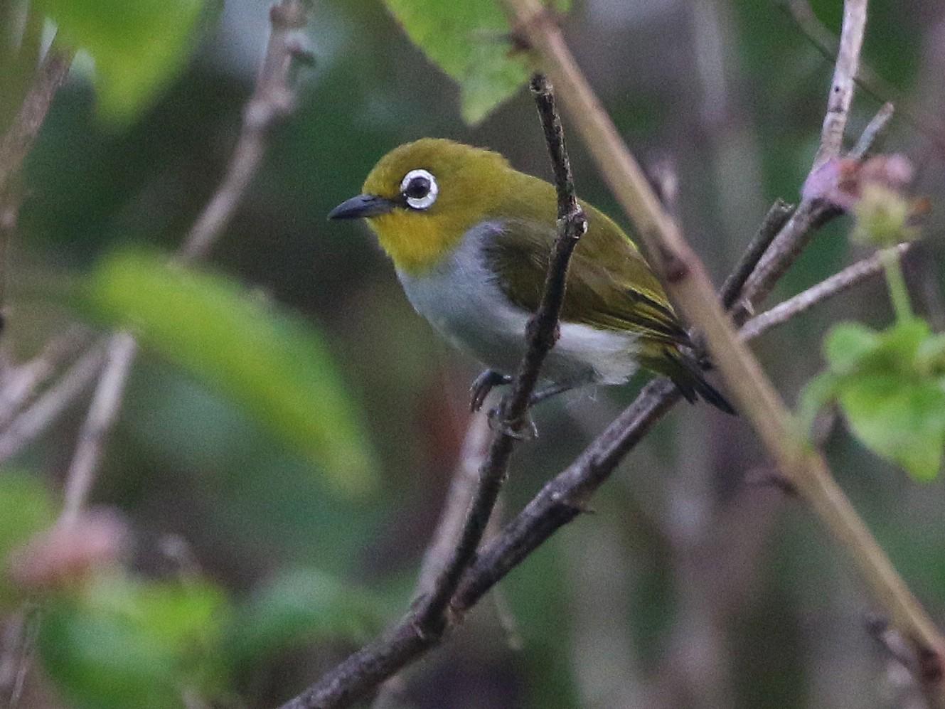 Sulawesi White-eye - Ashley Banwell