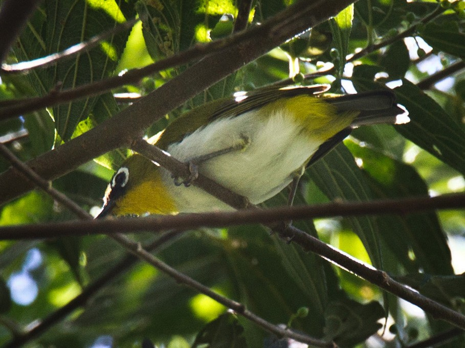 Black-fronted White-eye - Lars Petersson
