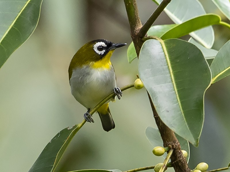 Black-fronted White-eye - Niall D Perrins