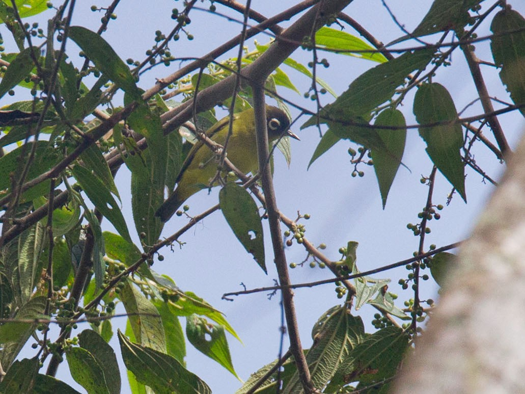 Capped White-eye - Lars Petersson