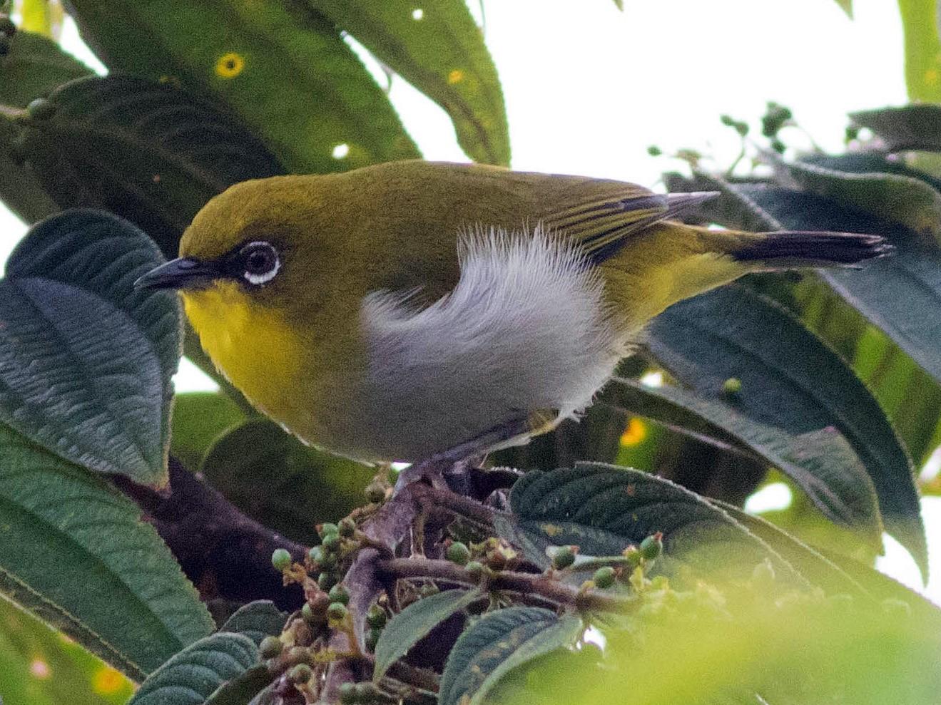 New Guinea White-eye - Doug Gochfeld