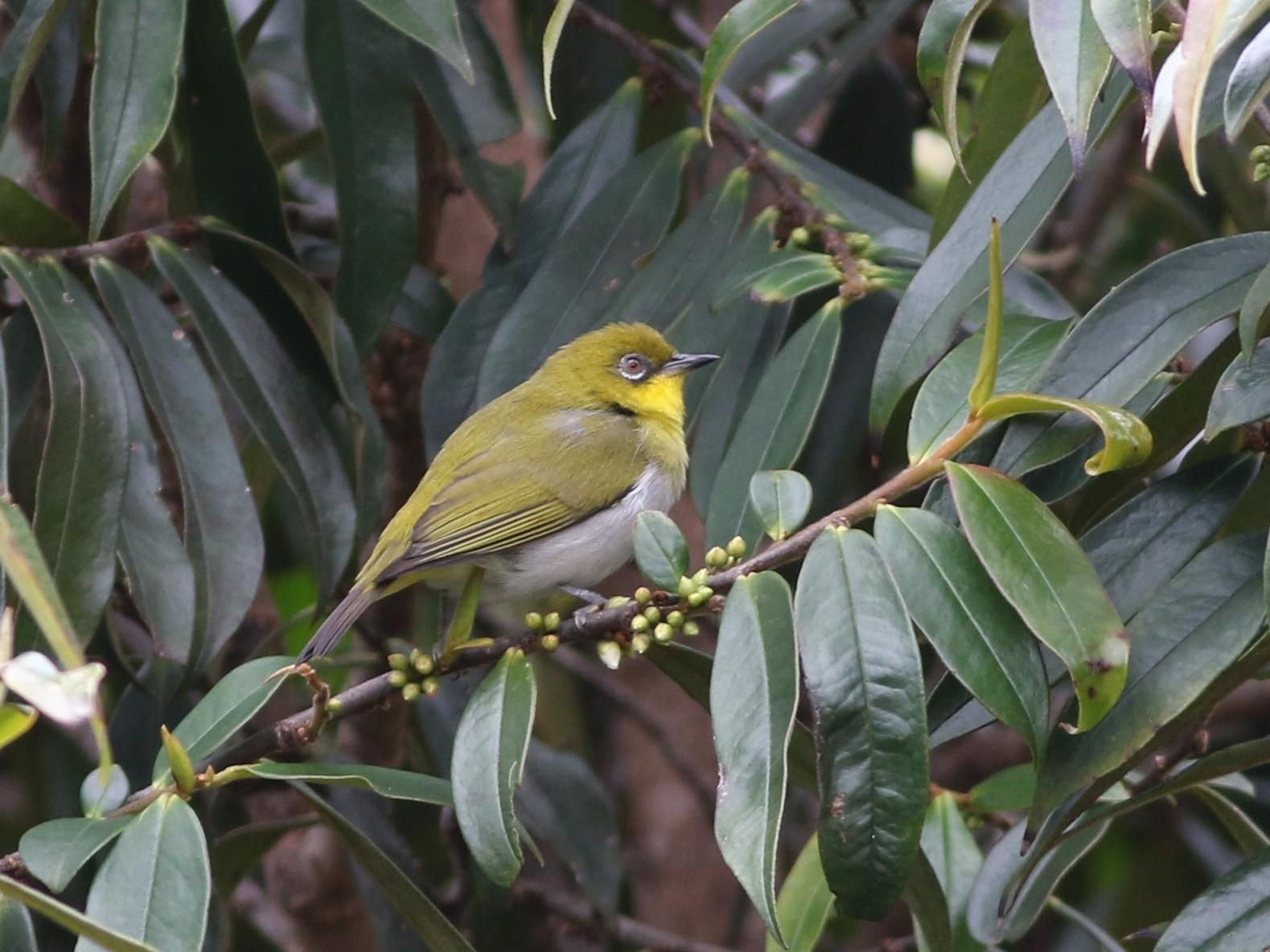 New Guinea White-eye - Chris Wiley