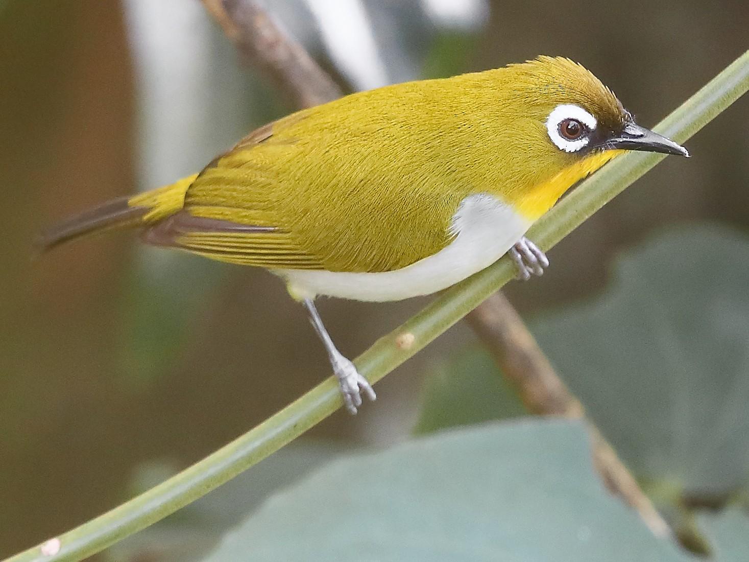 New Guinea White-eye - Carlos Bocos