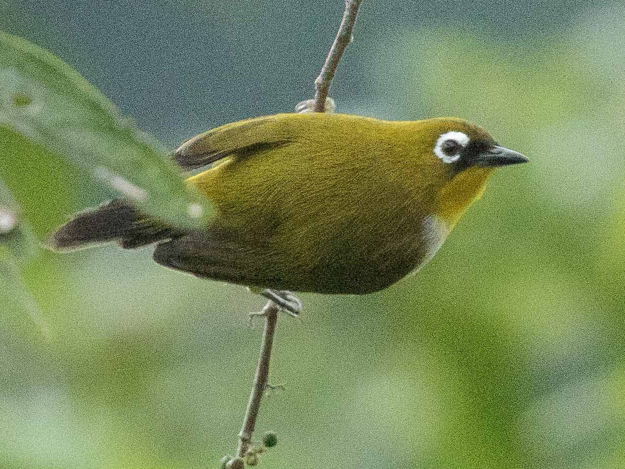 New Guinea White-eye - Eric VanderWerf