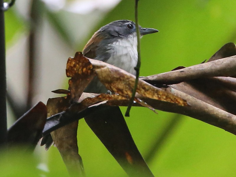 White-breasted Babbler - Lars Petersson