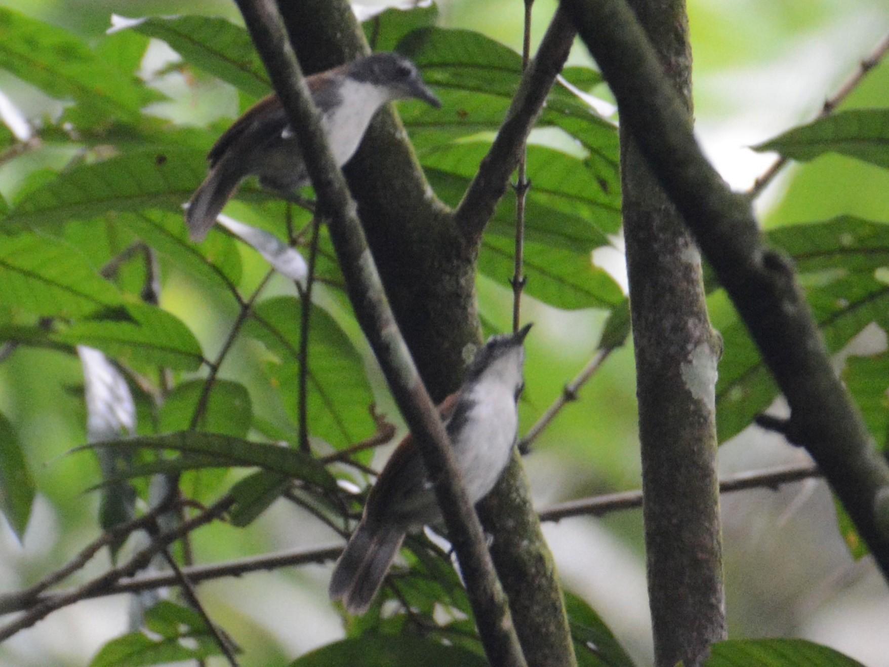White-breasted Babbler - Ari Noviyono