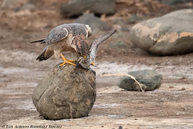 Peregrine Falcon (Barbary)