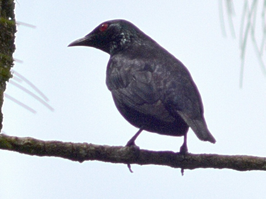 Short-tailed Starling - Nicholas Talbot