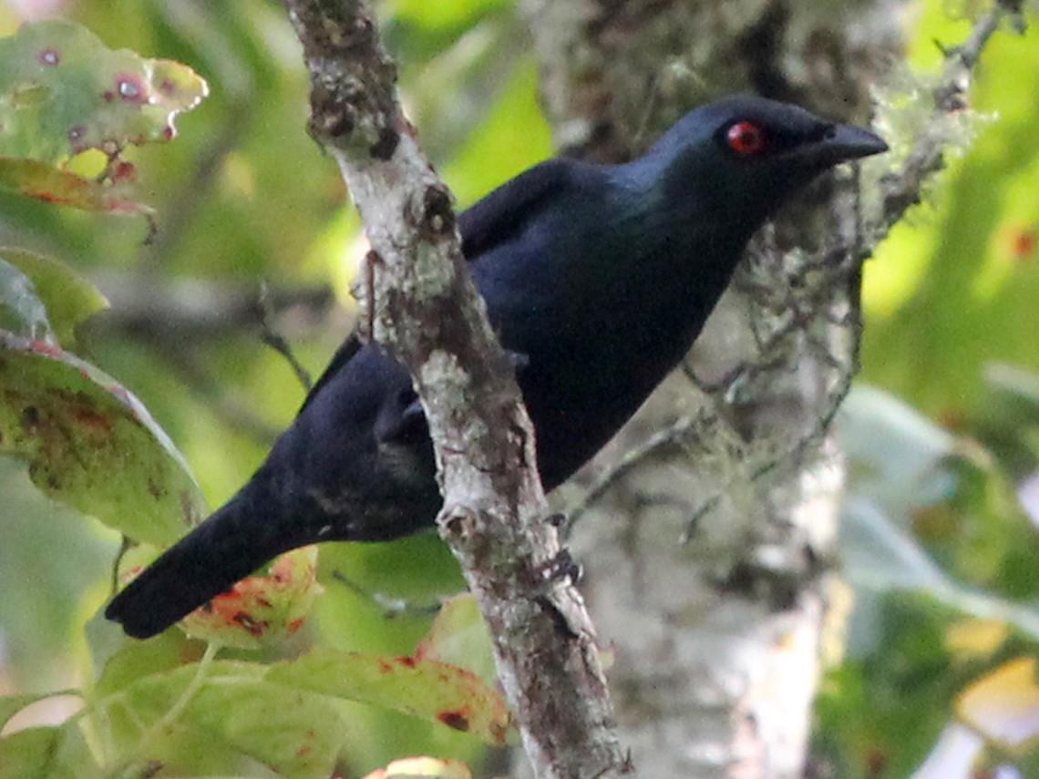 Short-tailed Starling - Ray Turnbull