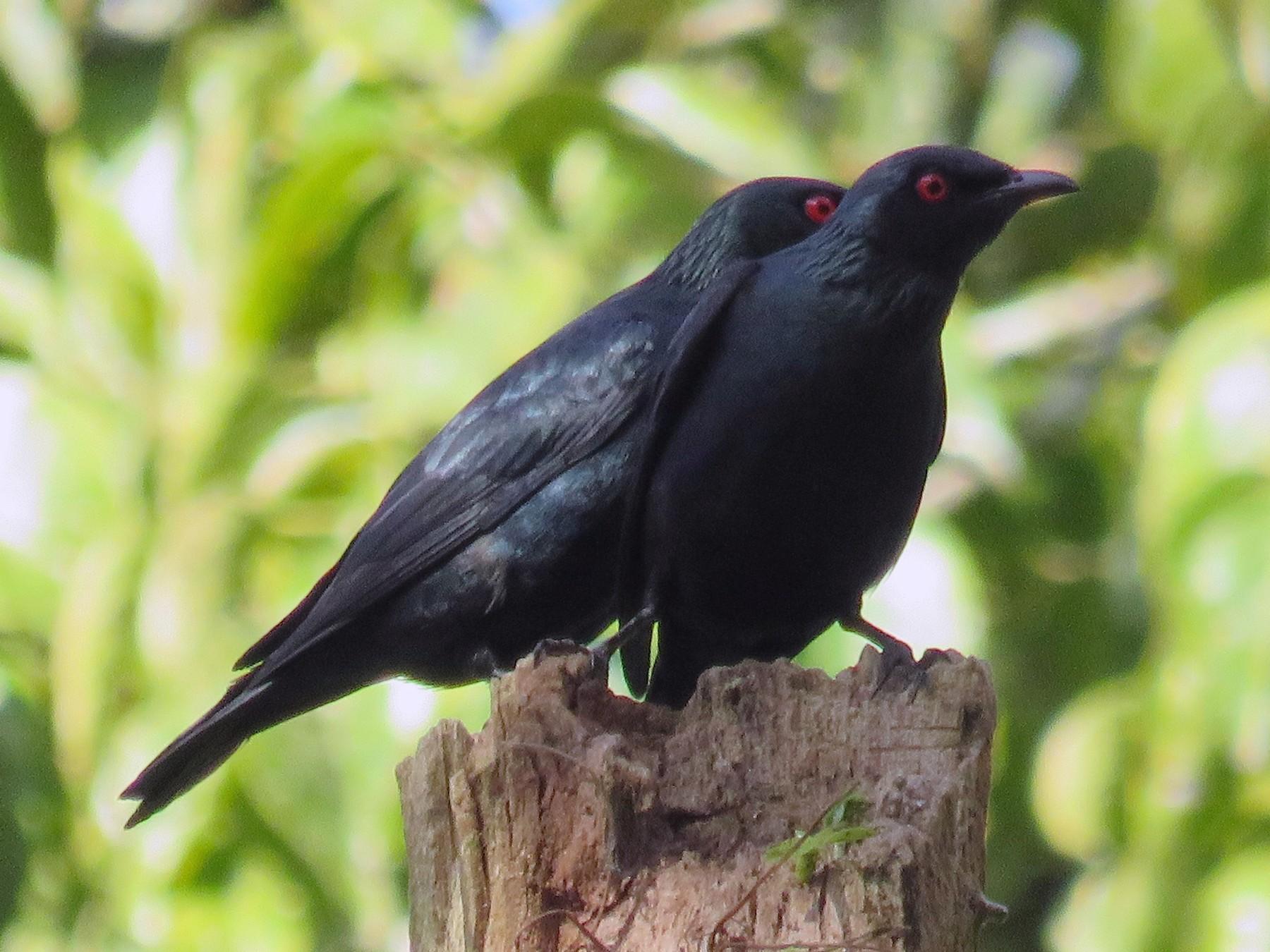 Short-tailed Starling - Dinesh Sharma