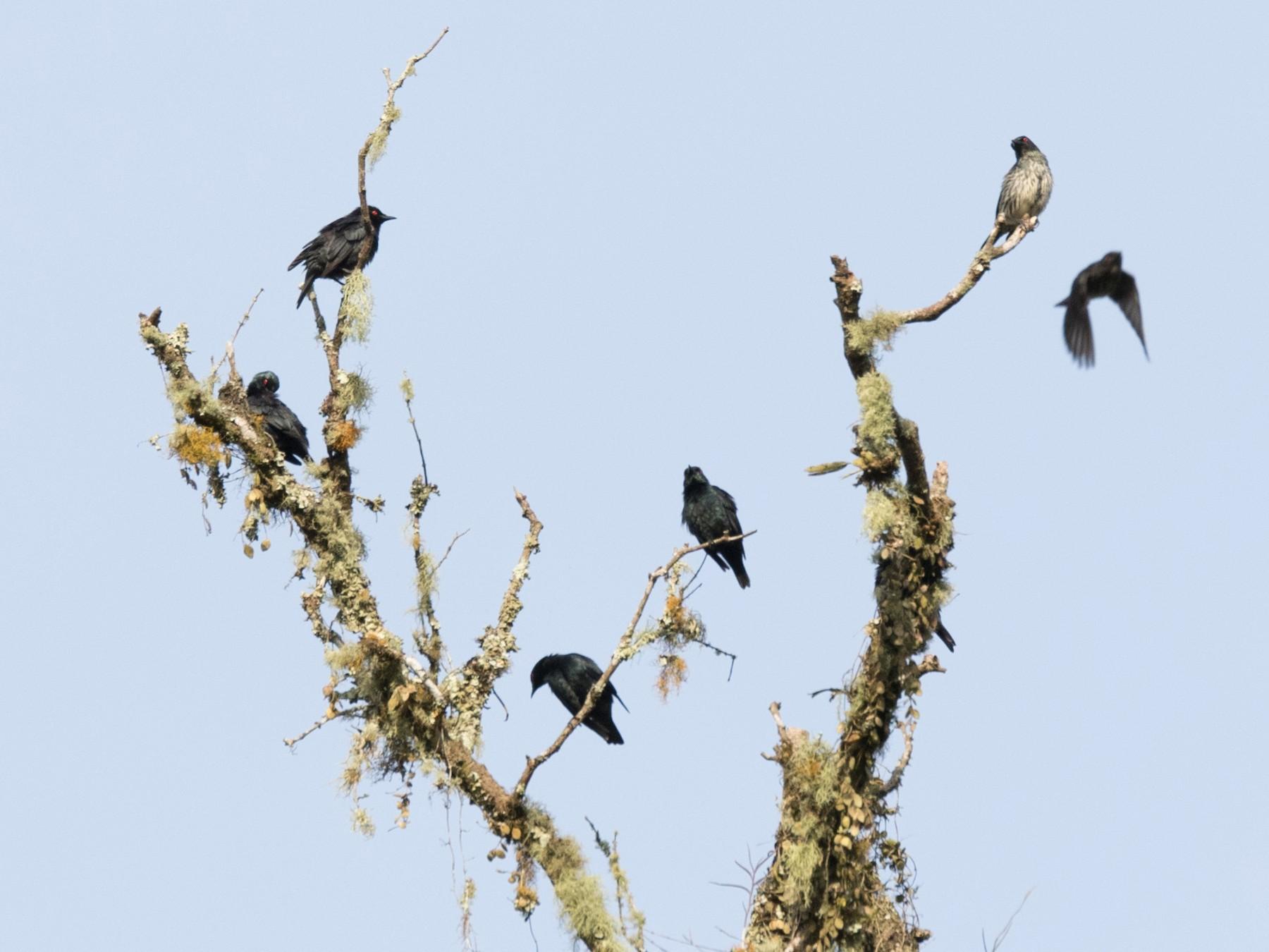 Short-tailed Starling - Chris Barnes