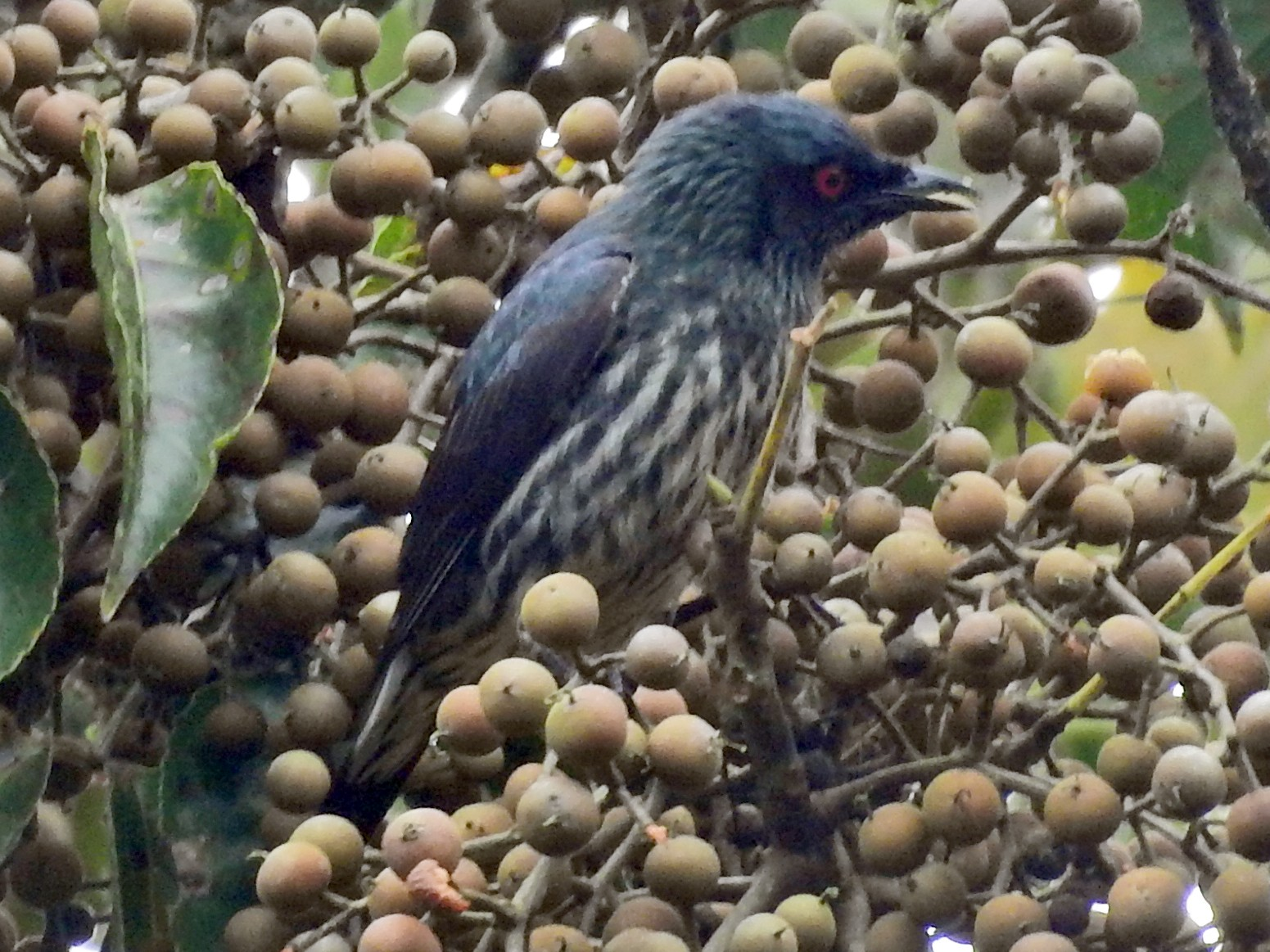 Short-tailed Starling - Tom Squires