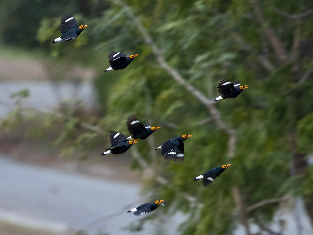 Yellow-faced Myna - Niall D Perrins