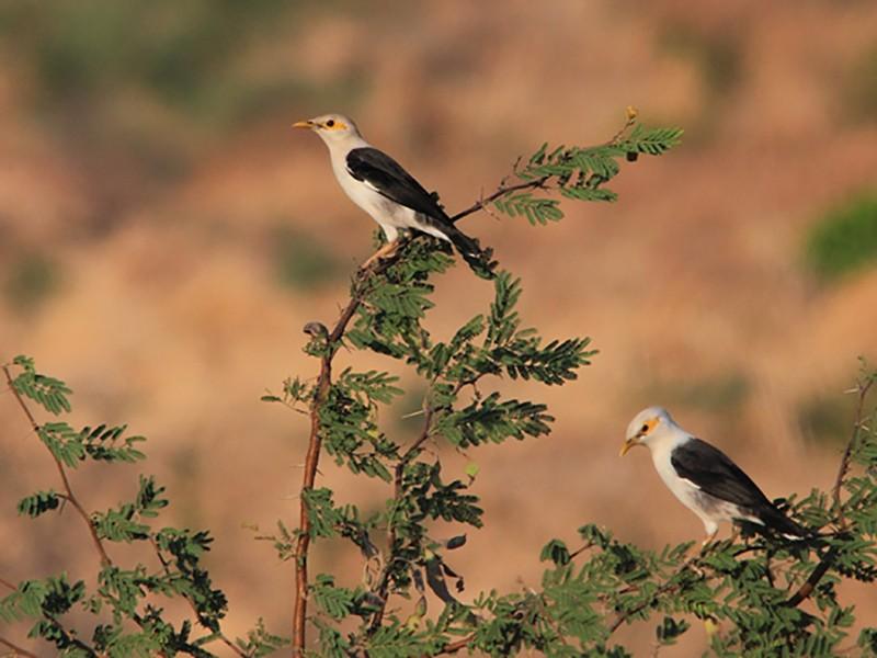 Black-winged Starling - Boas Emmanuel