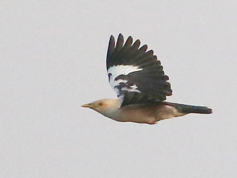 Black-winged Starling - Fanis Theofanopoulos (ASalafa Deri)