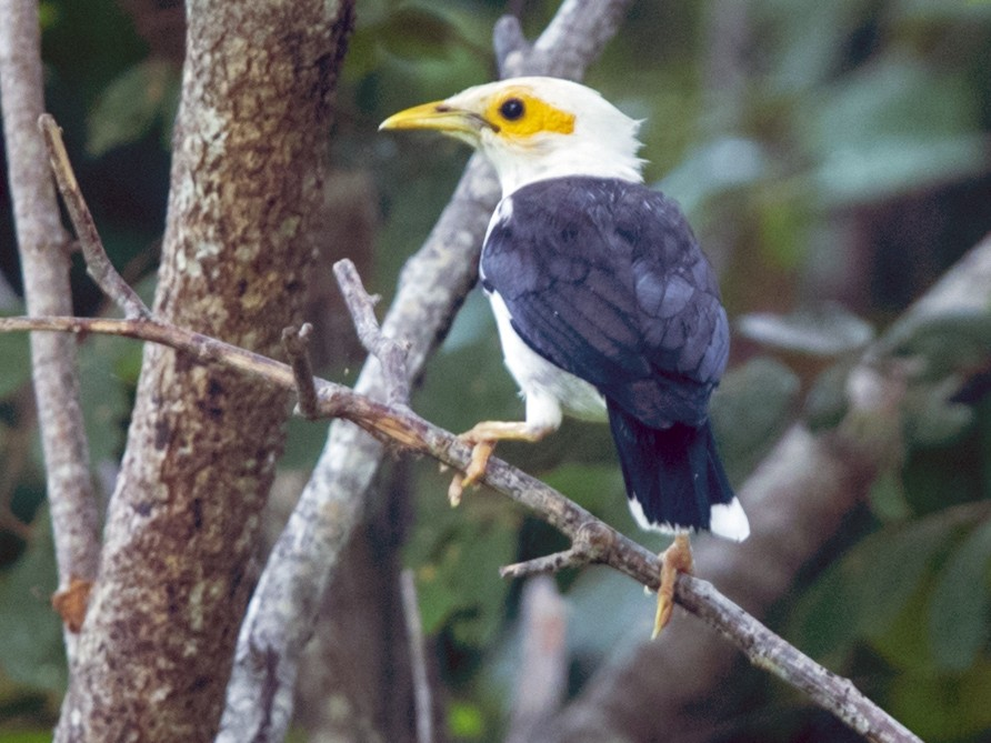 Black-winged Starling - Laurie Ross   Tracks Birding & Photography Tours