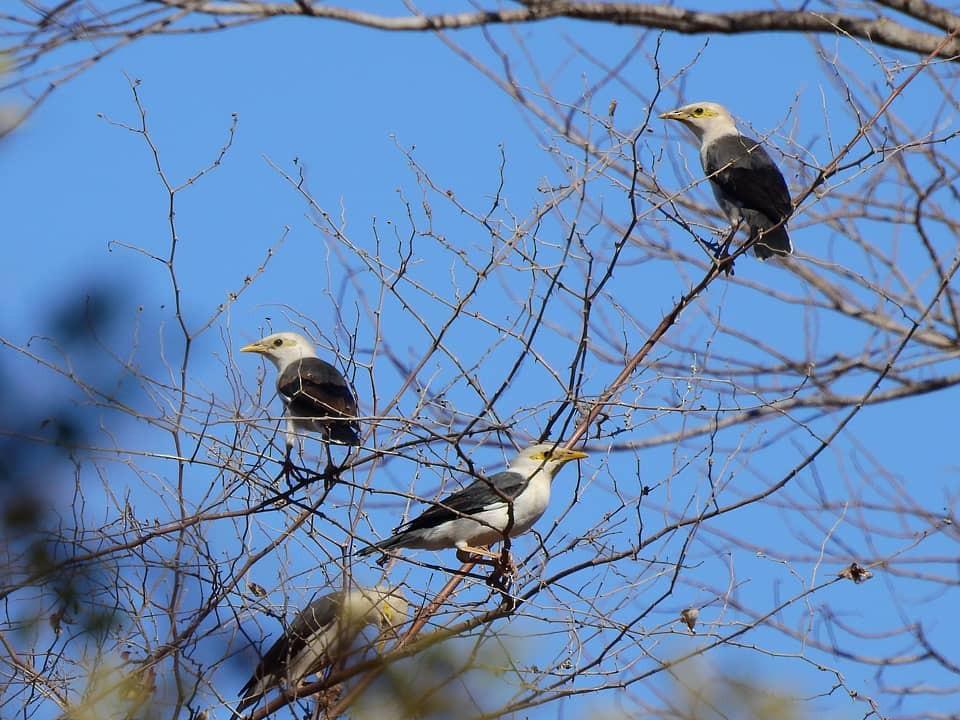 Black-winged Starling - Panji Gusti Akbar