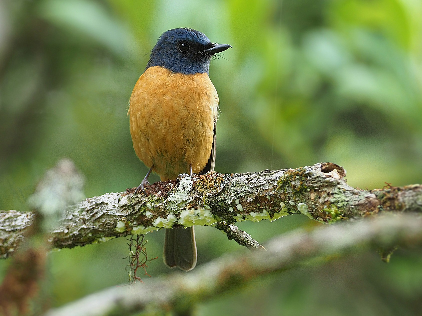 Blue-fronted Flycatcher - James Eaton